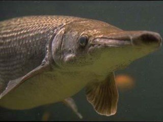 Alligator Gar: Nuisance or Living Fossil?
