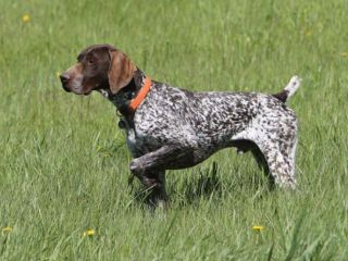 Hunting Dogs and Puppies For Sale Gun Dog Breeders