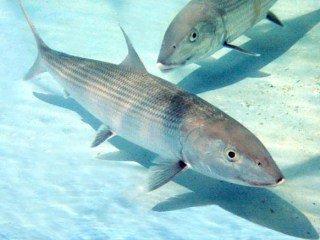 bone-fish