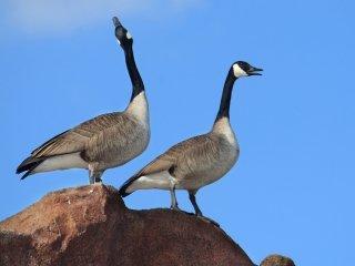 goose-calls