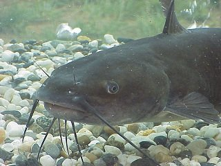 file_166411_0_catfish