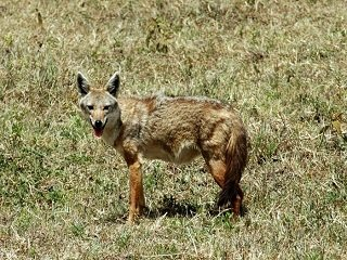 file_166997_0_Golden_Jackal