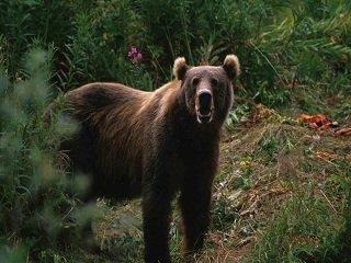 file_167575_0_bear_griz__3