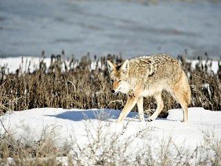 file_167779_0_coyote