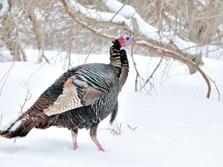 file_167859_0_winter_turkey