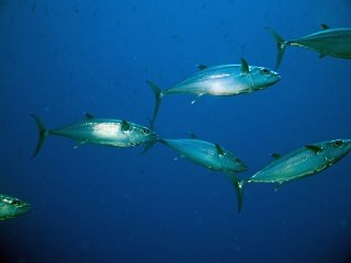 file_167901_0_spanishmackerel