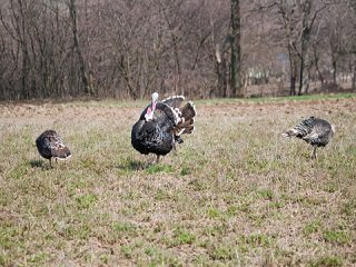 file_168079_0_turkey_hunt