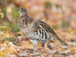 file_168269_0_grouse