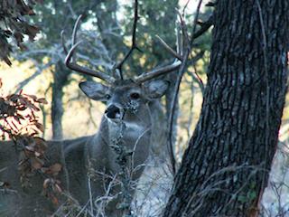 Rutting-Deer