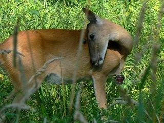 deer goiter