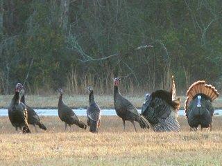turkeys strut