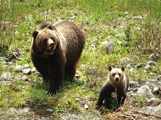grizzly and cub