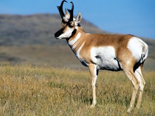 Top States for Monster Pronghorn