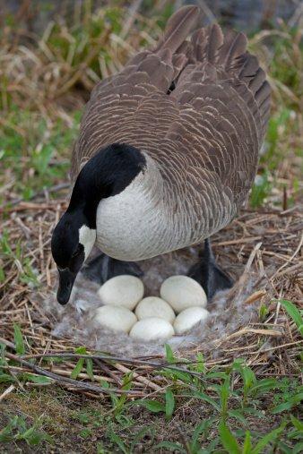 goose (338x507)