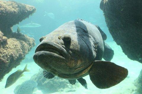 Florida Angler Lands Goliath Grouper on Paddleboard