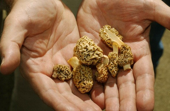 Morel Mushroom Season Like Springtime Gold Rush