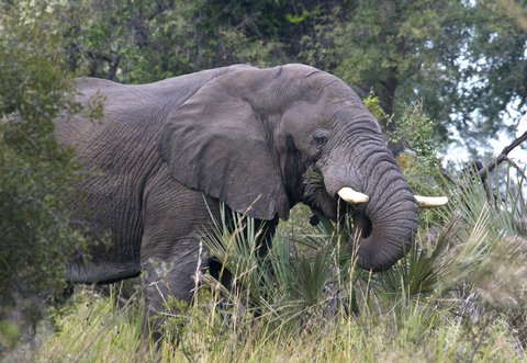 Botswana Elephant Hunting Ban Costs Villagers