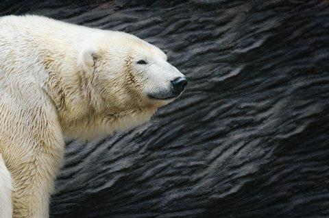 Female Bow Hunter Bags Polar Bear