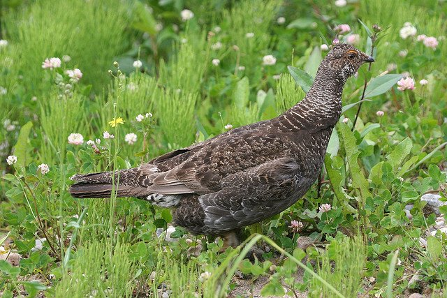 Tips for Hunting Blue Grouse - LiveOutdoors