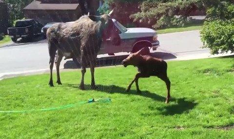 moose-sprinkler