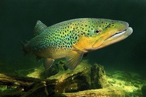 The State of Trout is Not Great, Report Says