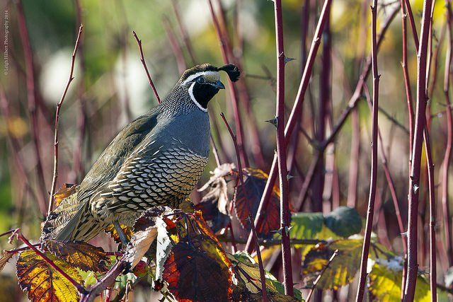 California Quail Hunting During Deer Season