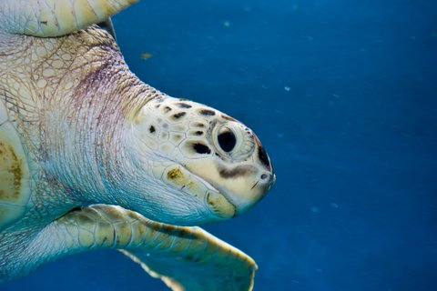 © Troywegman | Dreamstime.com - Sea Turtle Photo