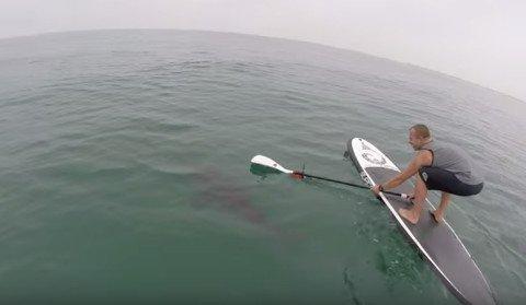 SUP-shark