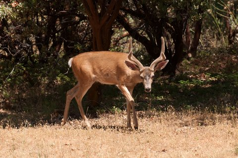 How to Call for Blacktail Deer