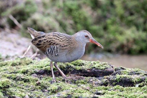 Secrets to Hunting the Illusive Rail Bird