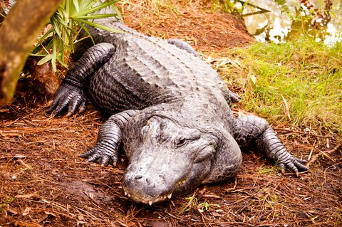 Alligator Hunters Bag Monsters Across the South