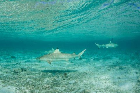 Watch Blacktip Sharks Hit Topwater Lures in Florida Surfbreak