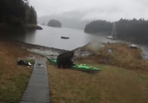 Black Bear Destroys Frantic Woman's Kayak in Alaska