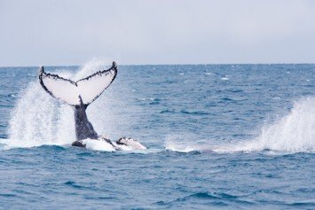 Sailboat Collides With Humpback Whale Off Redondo Beach