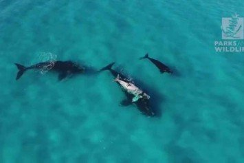 Rare Albino Whale Calves Spotted in South Africa and Australia