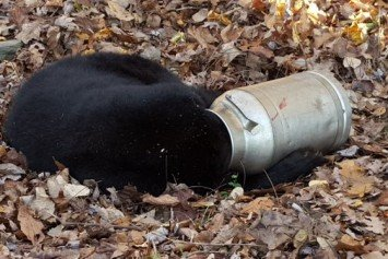 Officials Rescue Black Bear with Head in Milk Jug