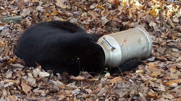 bear in jug