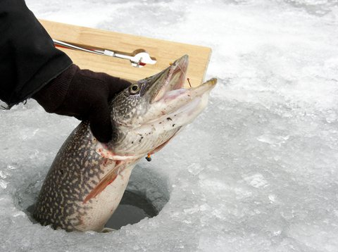 pike in ice