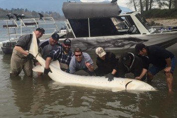 British Columbia Fisherman Lands 11-Foot Albino Sturgeon