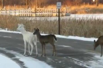 Check Out This Beautiful Albino Deer