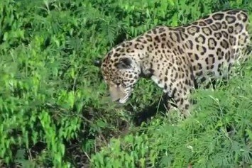 Watch This Jaguar Pounce on a Caiman