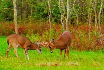 The Importance of Understanding the Whitetail Rut