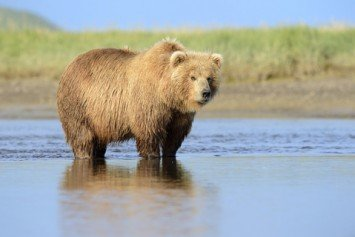 Grizzly Bear Safety Tips that Hugh Glass Should Have Taken