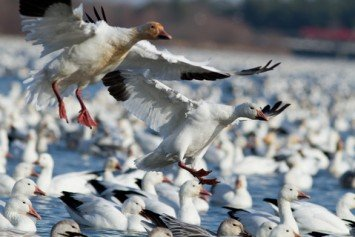 6 Ways to Improve Your Snow Goose Hunting Success