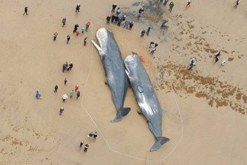 Beached Sperm Whales in Great Britain Attract Gawkers