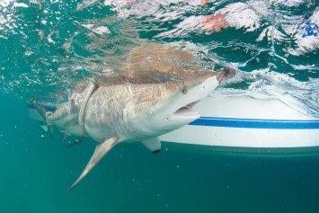 Thousands of Blacktip Sharks Congregate off Florida Coast