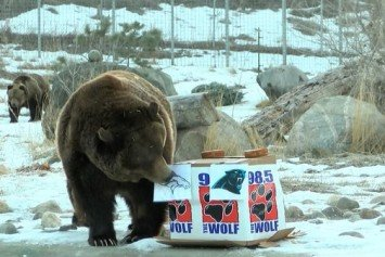 Grizzly Bear Predicts Denver Broncos to Win Super Bowl 50
