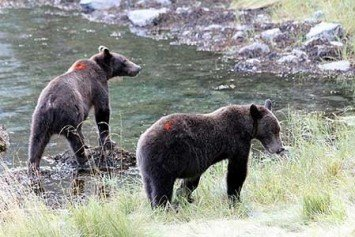 Alaska Wildlife Officials Turn to Paint Balls to Deter Bears