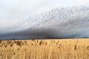 Watch 70,000 Birds Fly in Amazing Dance Patterns