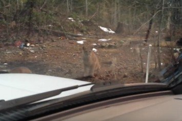 Three Mountain Lions Surround a Truck on Vancouver Island